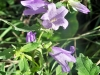 campanula persicifolia, un fiore delle fate