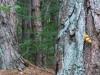 funghi su tronco nel bosco (forse Xerocomus parassiticus, con dubbi)