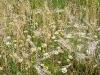 grano e margherite selvatiche (matricaria perforata)... quando si dice bio...
