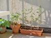 pomodori datterini e ramati (vaso tondo)