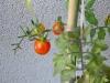 pomodori datterini dolcissimi