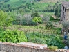 San Gimignano, lussureggiante orto con carciofi esuberanti