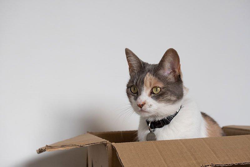 gatto e scatola da trasloco