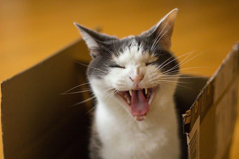 gatto urla nel trasloco