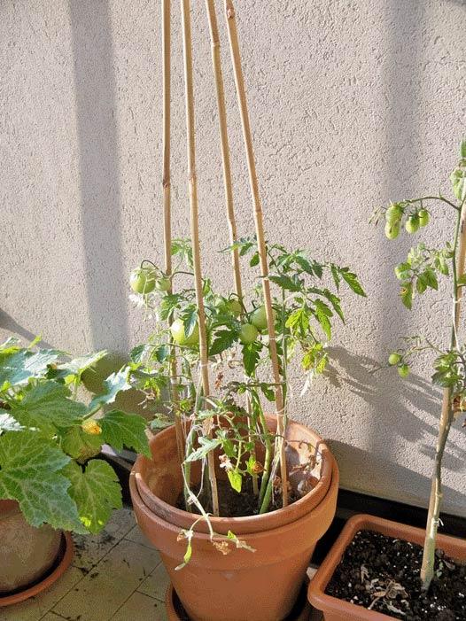 pomodori verdi orto sul balcone