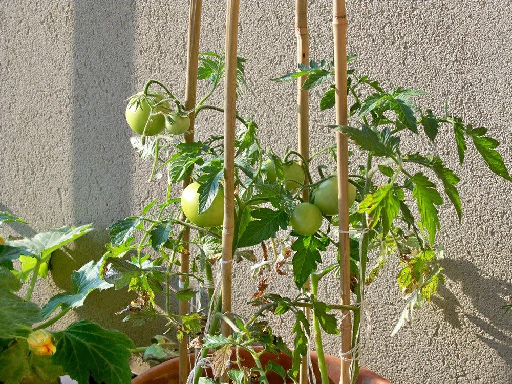 orto sul balcone pomodori ciliegini