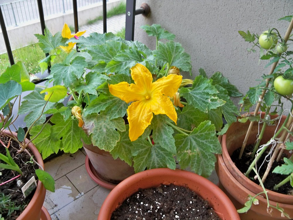 fiori di zucca sul balcone