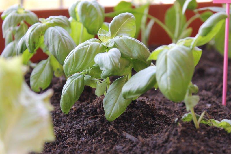 Ortoterapia e orto sul balcone: piantine di basilico in crescita