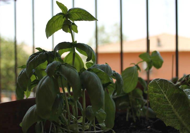 Ortoterapia e orto sul balcone: dopo due settimane si può già gustare il basilico trapiantato!