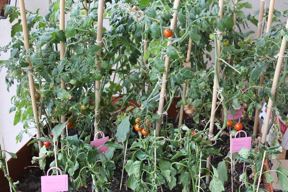 Ortoterapia e orto sul balcone: a giugno si iniziano a raccogliere i primi pomodori!