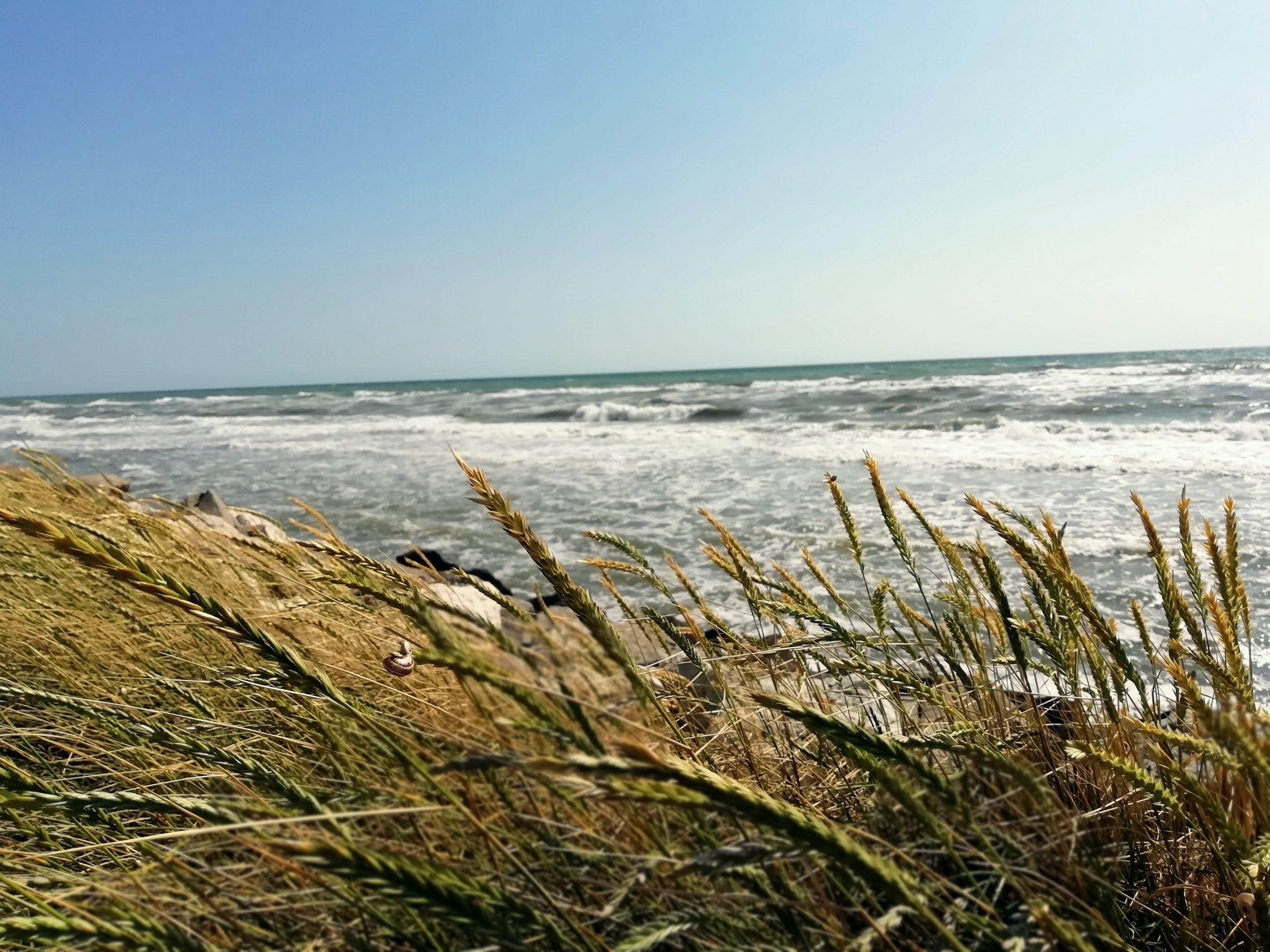 avena selvatica e mare sullo sfondo