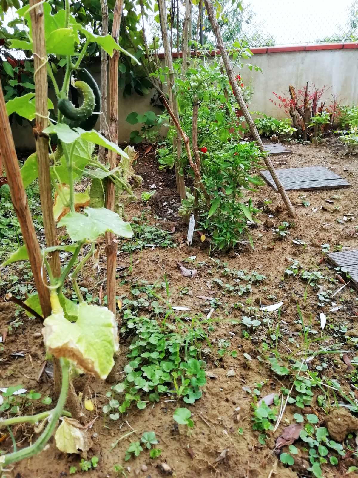 orto: dai vasi al terreno, piante di cetrioli, pomodori e peperoncini