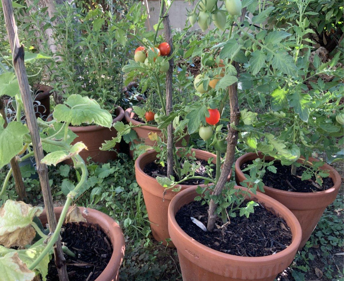 pomodori in vaso giugno