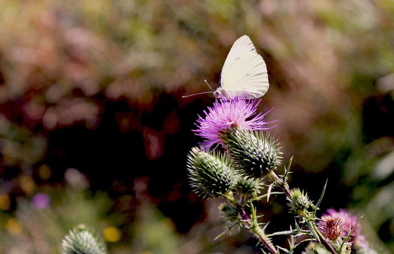 cardo con farfallina cavolaia