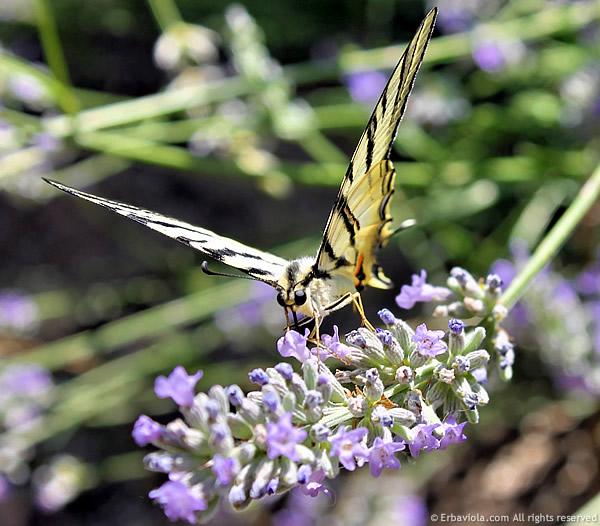 farfalla macaone su lavanda